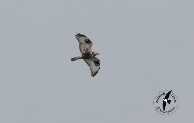 rough-legged-buzzard